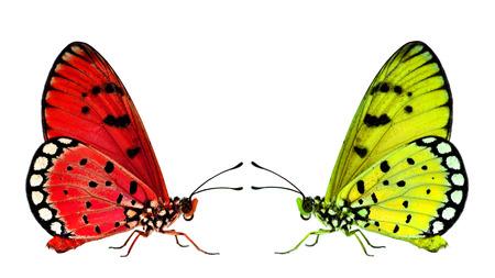 mariposas amarillas: Hermosas mariposas rojas y amarillas frente a la otra en el fondo blanco