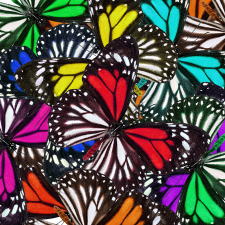 exotic butterflies: Exotic colorful background textured from White tiger butterflies in fancy color profile