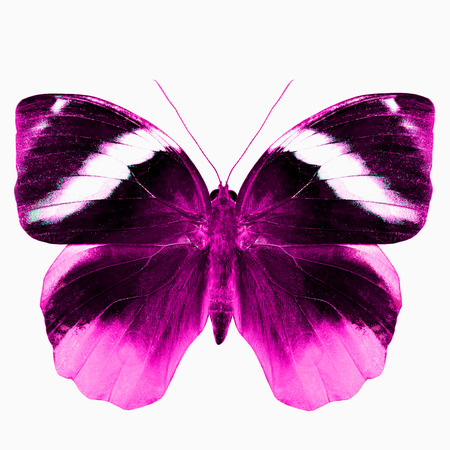 pink butterfly: Beautiful Pink Butterfly in fire look isolated on white background