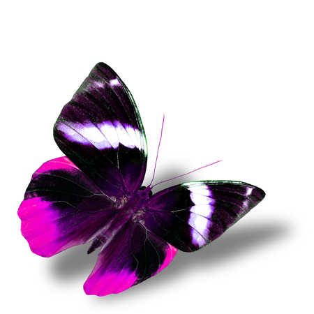 wing span: The beautiful flying pink butterfly with nice soft shadow on white background Stock Photo