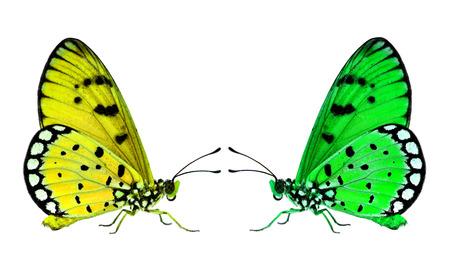 mariposas amarillas: Hermosas mariposas verde y amarillo se enfrentan entre sí en el fondo blanco Foto de archivo