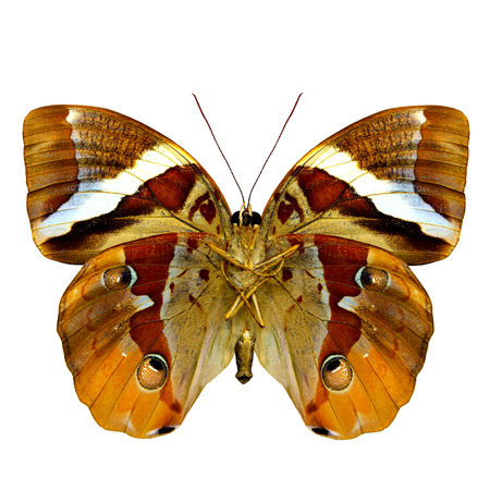 wing span: Beautiful Tufted Jungleking butterfly lower wing part in natural color profile isolated on white background