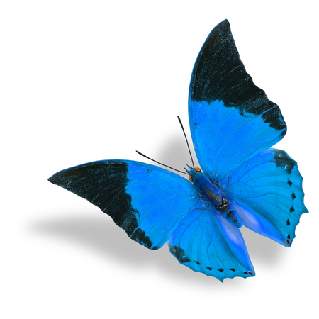 rajah: Beautiful flying blue butterfly (Tawny Rajah) on white background with soft shadow