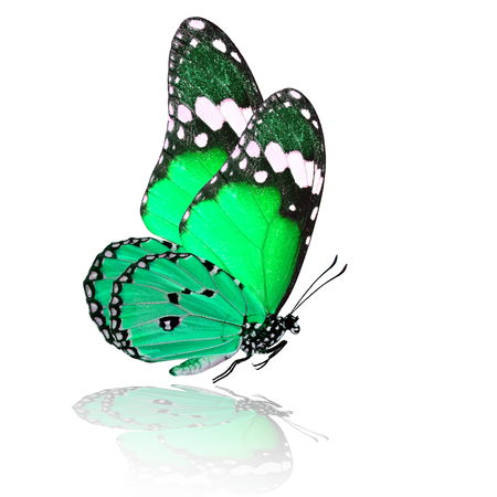 mariposa verde: Exotic flying pale green butterfly with shadow reflection on white background