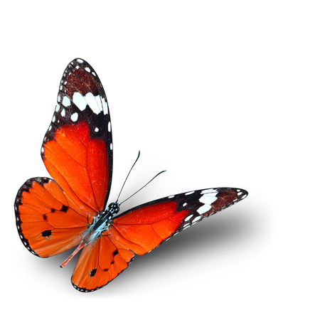 danaus: The beautiful flying orange butterfly on white background with soft shadow