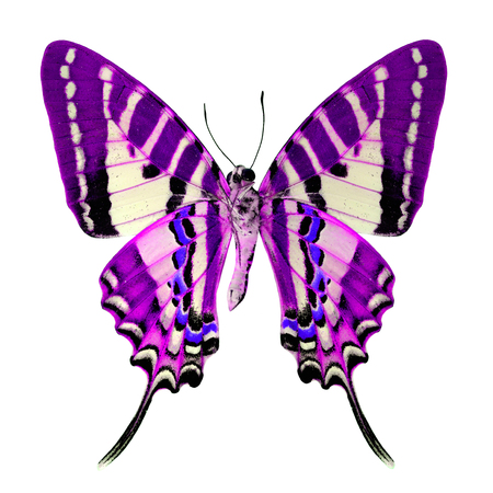 The Beautiful purple butterfly (spot swordtail) isolated on white background