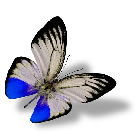 mariposa azul: Beautiful flying blue butterfly on white background with nice soft shadow beneath