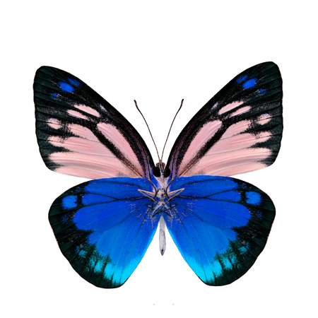 danaus: Beautiful blue butterfly lower wing portion isolated on white background Stock Photo