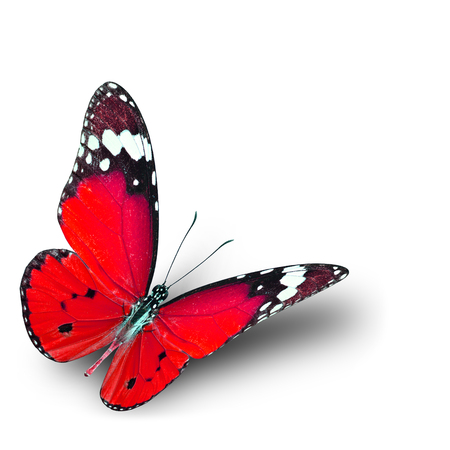 danaus: The beautiful flying red butterfly on white background with soft shadow