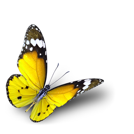 danaus: The beautiful flying yellow butterfly on white background with soft shadow