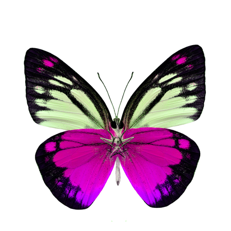 pink butterfly: Beautiful pink butterfly lower wing portion isolated on white background