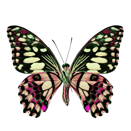 pink butterfly: Beautiful Pink Butterfly in fancy color isolated on white background Stock Photo