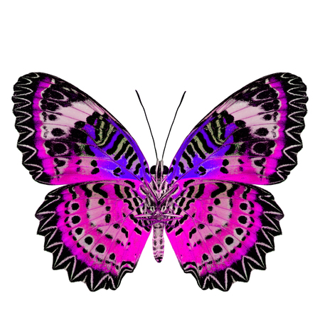 pink butterfly: Exotic Pink Butterfly with blue wings (Leopard Lacewing) in fancyl color profile isolated on white background Stock Photo