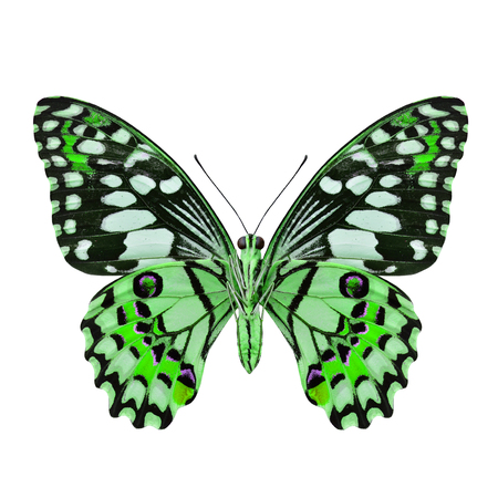 green butterfly: Beautifu Green Butterfly (Lime Butterfly) in fancy color profile isolated on white background Stock Photo