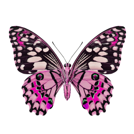 pink butterfly: Beautiful Pink Butterfly (Lime Butterfly) in fancy color profile isolated on white background Stock Photo