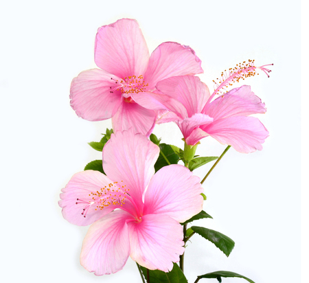 flori culture: Bunch of beautiful Pink Hibiscus flowers on white background