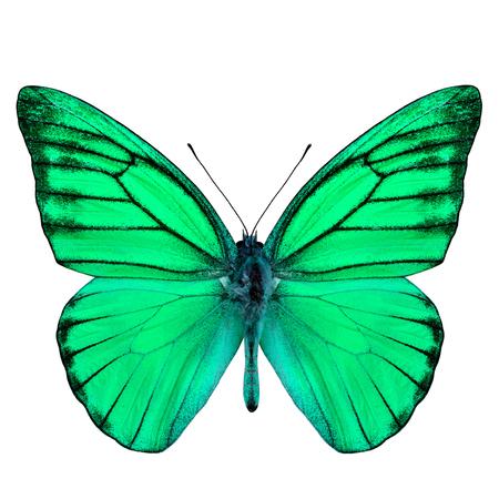 green butterfly: Beautiful Green Butterfly (Orange Albatross in fancy color) isolated on white background