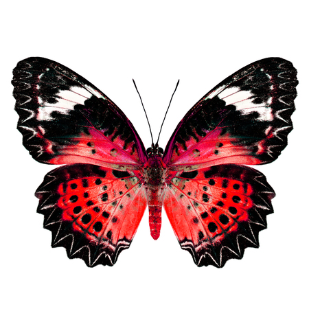 lacewing: Red Butterfly (Leopard Lacewing Butterfly) upper wing profile in fancy blue color isolated on white background Stock Photo