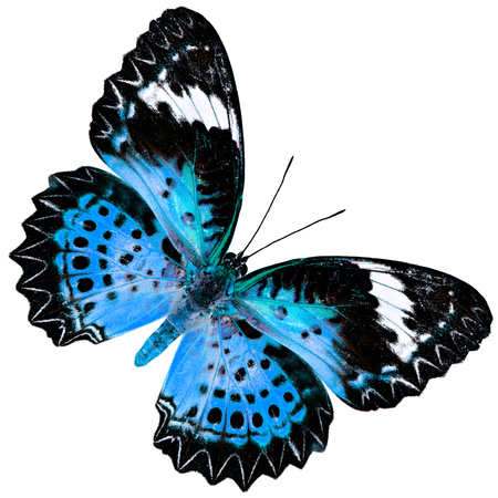lacewing: Beautiful Blue Butterfly (Leopard Lacewing Butterfly) upper wing profile in fancy blue color isolated on white background