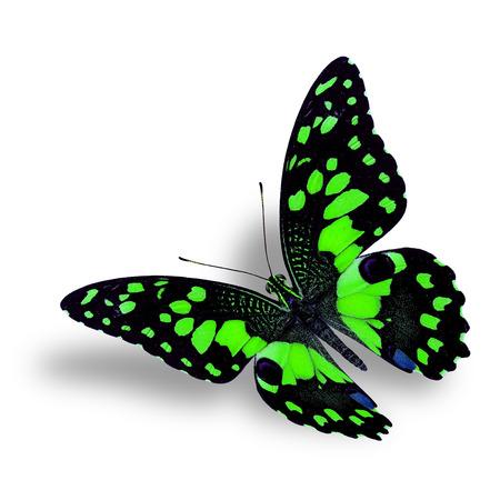 mariposa verde: Hermosa mariposa verde que vuela aislado en fondo blanco con sombra agradable suave bajo