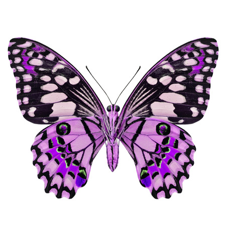 Beautiful Purple Butterfly (Lime Butterfly) lower wing part in fancy color profile isolated on white background
