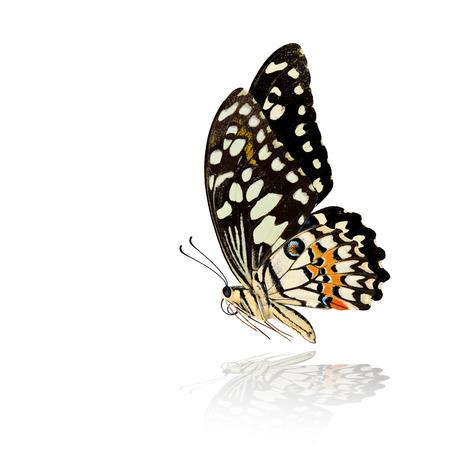 美しいの一般的なライム蝶飛んでまたはレモンの蝶 (アゲハ demoleus) 非常にニースの翼スパンし、影の白い背景の反射