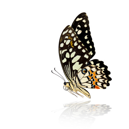 The beautiful flying Common Lime Butterfly or Lemon Butterfly (Papilio demoleus) with very nice wings span and shadow reflection on white background Фото со стока
