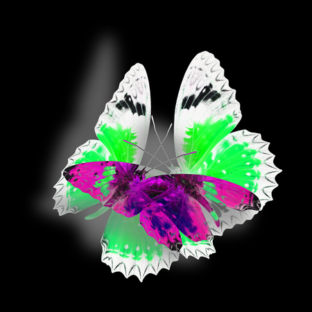 chrysope: Beautiful Black and  White Background made of Leopard Lacewing