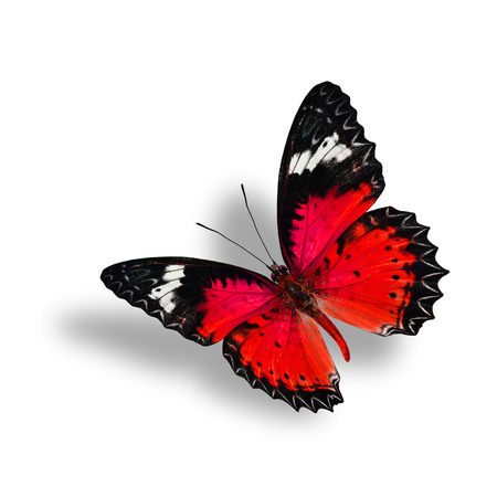 lacewing: Beautiful Flying Red Butterfly (Leopard Lacewing) with soft shadow beneath on white background