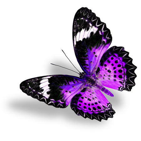 chrysope: Flying Purple Butterfly (Leopard Lacewing) on white background with soft shadow