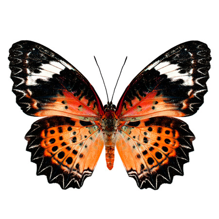 lacewing: Orange Butterfly (Leopard Lacewing Butterfly) upper wing profile in fancy blue color isolated on white background