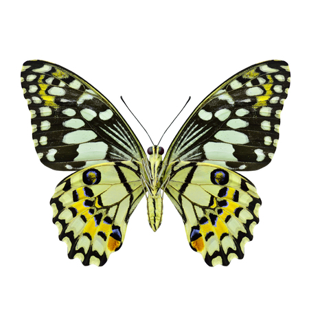 beautifu: Beautifu Yellow Butterfly (Lime Butterfly) in fancy color profile isolated on white background