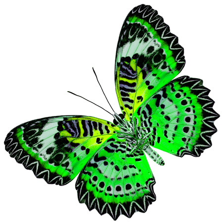 green butterfly: Beautiful Green Butterfly with yellow wings (Leopard Lacewing) in fancyl color profile isolated on white background