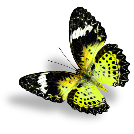 yellow butterfly: Flying Yellow Butterfly (Leopard Lacewing) on white background with soft shadow