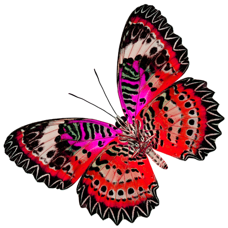 lacewing: Beautiful Red Butterfly with pink wings (Leopard Lacewing) in fancyl color profile isolated on white background