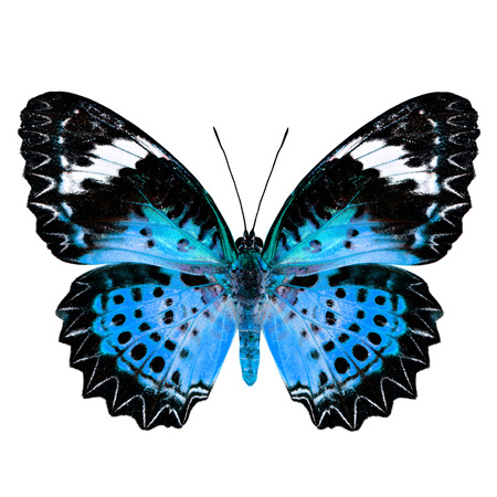 chrysope: Blue Butterfly (Leopard Lacewing Butterfly) upper wing profile in fancy blue color isolated on white background