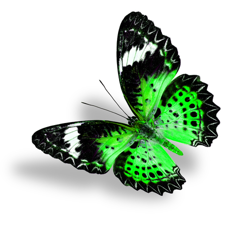 lacewing: Flying Green Butterfly (Leopard Lacewing) on white background with soft shadow