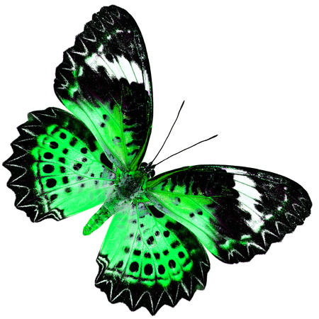 green butterfly: Beautiful Green Butterfly (Leopard Lacewing Butterfly) upper wing profile in fancy blue color isolated on white background Stock Photo