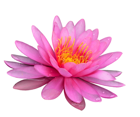nenuphar: Pink Lotus Flower or Water Lily isolated on white background with water drops on its petels Stock Photo