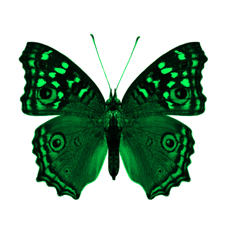 green butterfly: The Beautiful Green Butterfly back wing in natural color profile isolated on white background Stock Photo