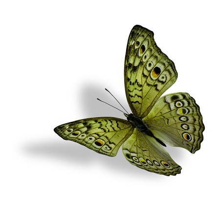 yellow butterfly: The beautiful flying yellow butterfly (Junonia atlites ) isolated on white background with soft shadow beneath Stock Photo