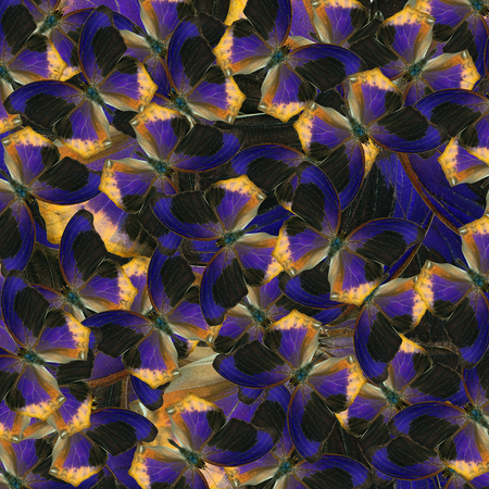 compilation: beautiful blue and black background and texture formed by the compilation of Large Assyrian buterflies