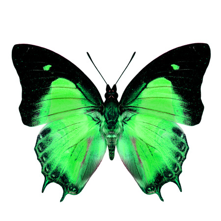 green butterfly: Exotic Green Butterfly in fancy color isolated on white background