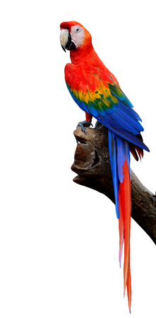 Beautiful of Scarlet Macaw bird exposed on the branch in full body isolated on white background
