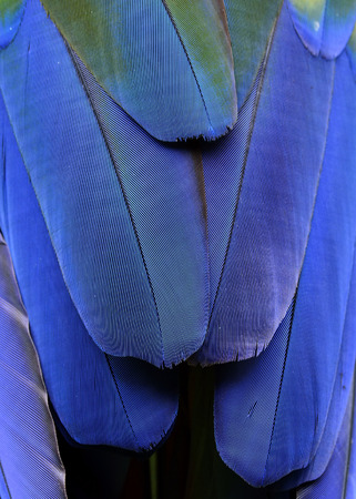 architech: Blue Bird feathers of Scarlet Macaw Bird in great sharp details Stock Photo