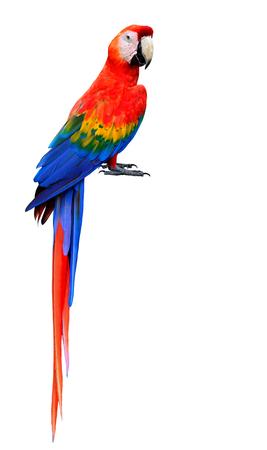 素足は、白い背景で隔離の美しい緋色のコンゴウインコ鳥 写真素材
