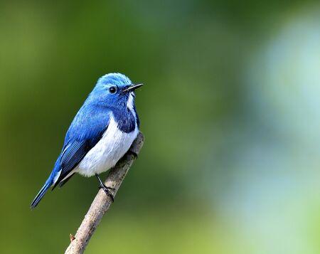 perching: Male of Ultramarine Flycatcher bird perching on the stick on blue green blackground