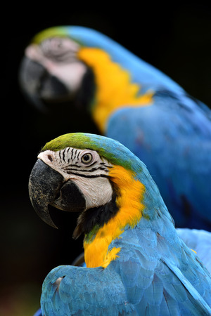 posting: Blue and Gold Macaw birds posting with cute actions