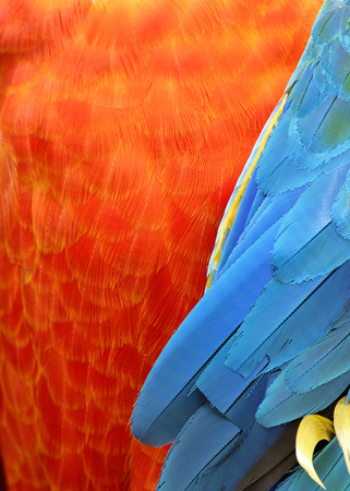 architech: Orange and Blue Macaw Bird Feathers in a sharp ang great texture Stock Photo