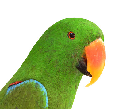 green parrot: Close up of Green Parrot bird with very sharp in details isolated on white background